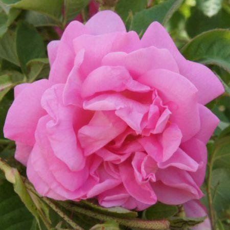 Красота и аромат розы могут быть использованы каклекарство... 1